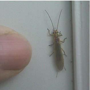 Little Yellow Sally Stonefly