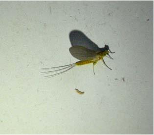 Blue Winged Olive Mayfly